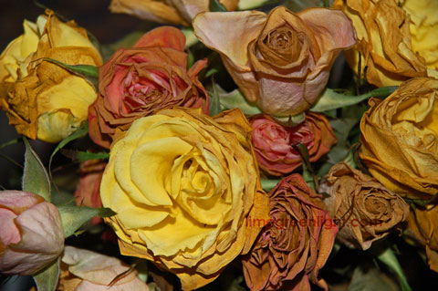 dried yellow pink and red roses