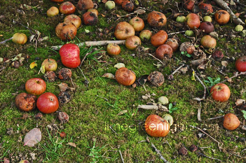 apples on the ground in orchard