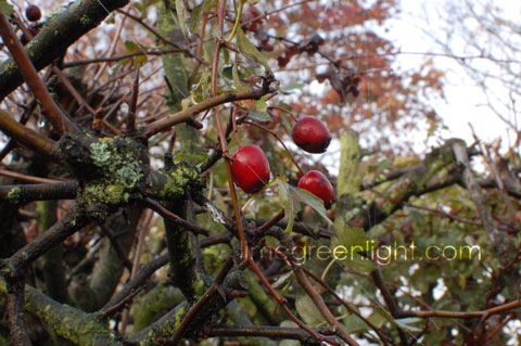 berries amongst twigs in autumn