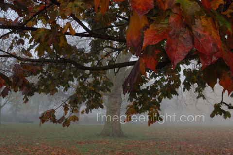 tree with red brown green leaves and autumn mist in background