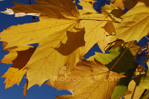 bright yellow leaves on tree with blue sky in background